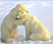 abrazo-de-oso-polar-e1346259217883